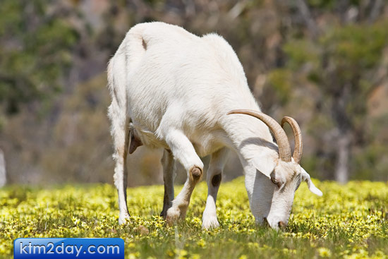 50,000 goats to be brought for Dashain