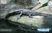 Gharial monitoring begins in Chitwan Park