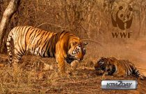 WWF states Nepal to become first country to double tiger population